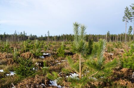 Growing pine tree plants by early springtime in a scandinavian tree plantation Stock Photo