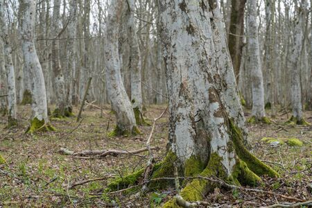 Old Hornbeam tree with a mossy root in a mystery forest