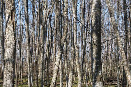 Common Hornbeam tree trunks in a bright forest