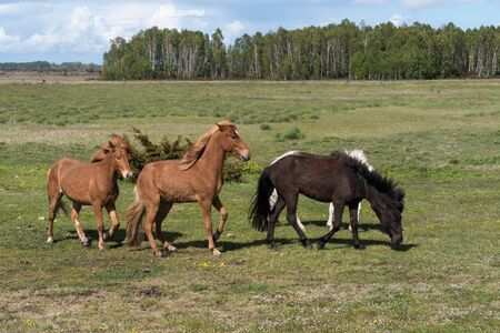 Herd with horses in a green landscape on the island Oland in Sweden Stock Photo