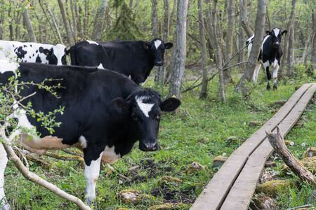 Young black and white cows standing by a wooden footbridge in a forest in spring season Stockfoto