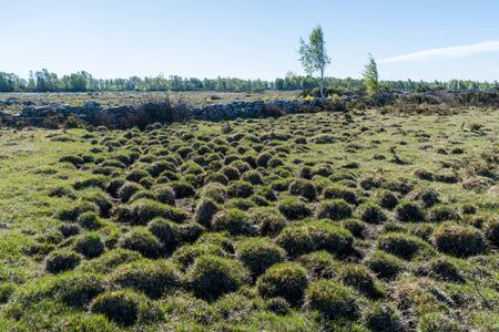 Tufted wetland in spring season by Stora Alvaret in the World Herige on the island Oland in Sweden