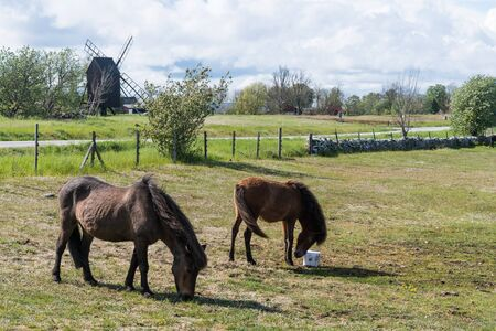 Grazing horses in a grassland with an old windmill in the background on the island Oland in Sweden