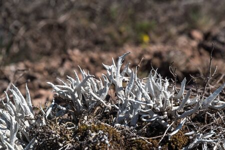 Growing Whiteworm Lichen closeup on the island Oland in Sweden Stock Photo