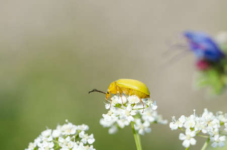 Close up of a yellow beetle on a white flower