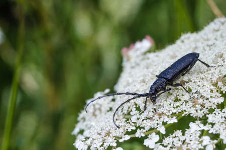 Black longhorn beetle, Capricorn Beetle, close up on a wild carrot flower Standard-Bild