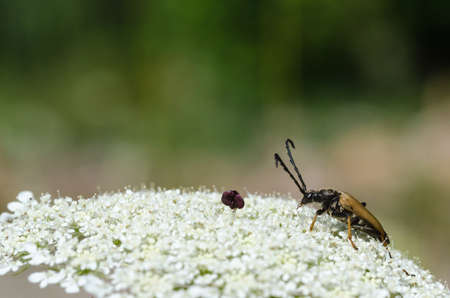 Longhorn beetle, Red-brown Longhorn Beetle, on a wild carrot flower