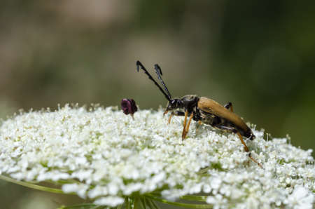 Male Red-Brown Longhorn Beetle close up on a white flower