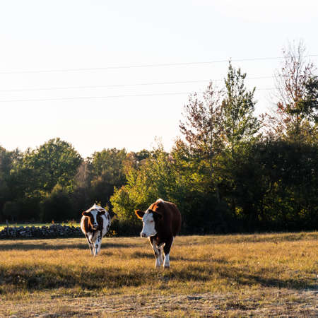 Two backlit young cows in a autumn colored grassland