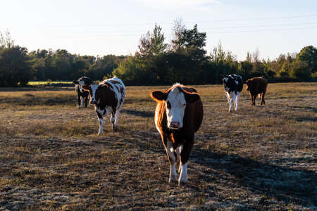 Cattle on the go in a dry grassland in fall colors