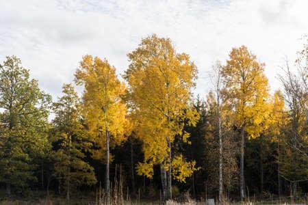 Beautiful aspen trees in fall season in the swedish province Smaland Stockfoto