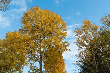 Beautiful glowing aspen trees by a blue sky Stock Photo