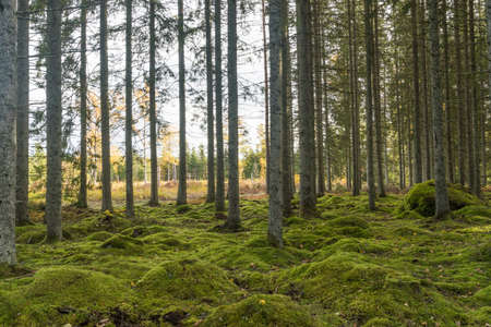 Moss covered forest ground in a spruce forest in fall season