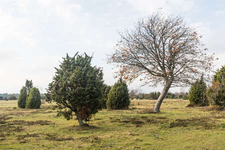 Bare tree in a landscape with junipers in fall season on the island Oland in Sweden 写真素材