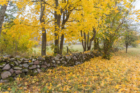 Beautiful fall colors by an old dry stone wall at Horn on the island Oland in Sweden