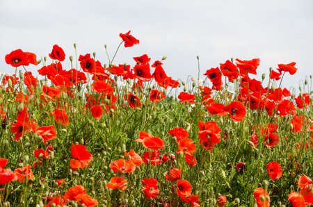 Group with beautiful blossom poppies