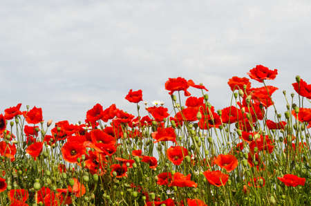 Many beautiful blossom red poppies in a summer season image Standard-Bild