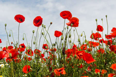 Beautiful blossom poppies in a low perspective view