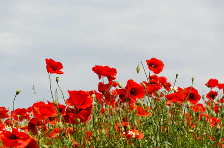Summer field with many blossom red poppies