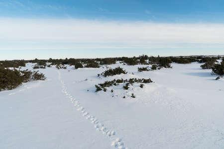 Animal footprints into a plain landscape with junipers Standard-Bild