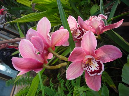 anthesis: pink orchids blossoming in wintertime
