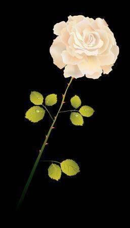 creamy: Creamy rose on black Illustration