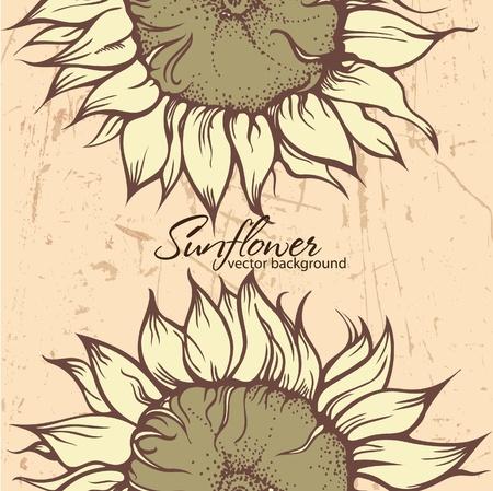 sunflower field: Textured background with Sunflowers