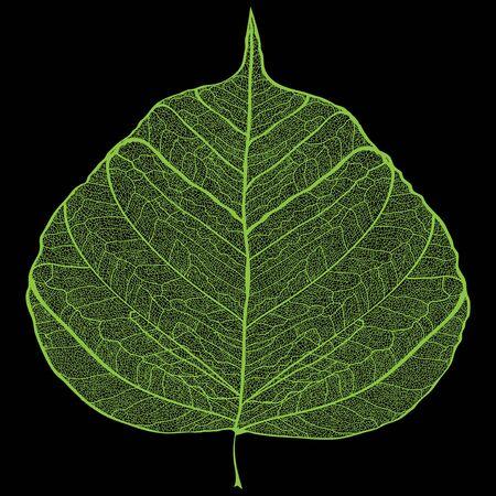 Green leaf skeleton on black background Vector