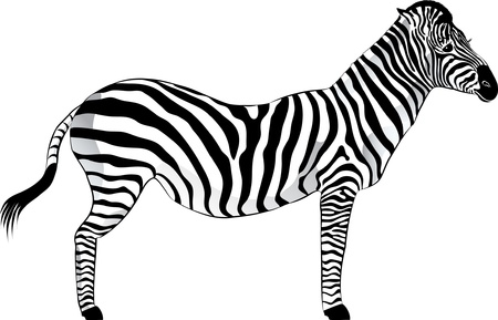 cloven: Zebra izolated