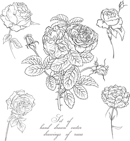 thorn: Set of vector hand drawn illustrations of roses
