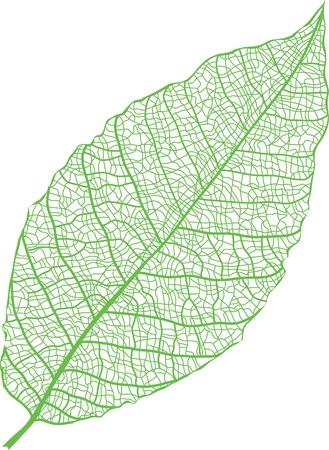 macro leaf: Green leaf skeleton