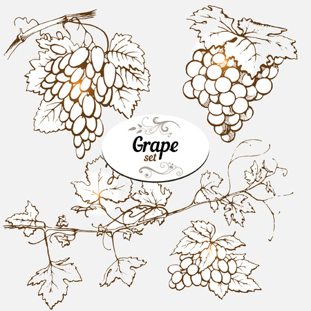 grapes on vine: Set of drawings grape
