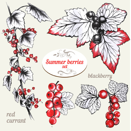 red currant: Set of hand drawn Red currant and blackberry Illustration