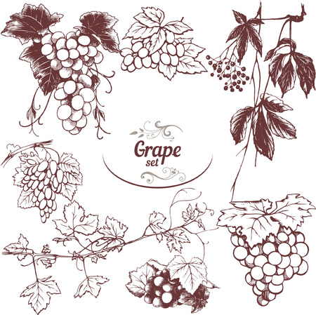 vineyards: Set of drawings grape, vector illustration