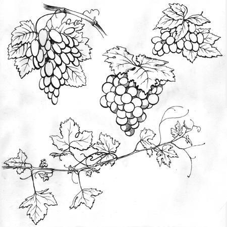 vine: Set of drawings grape