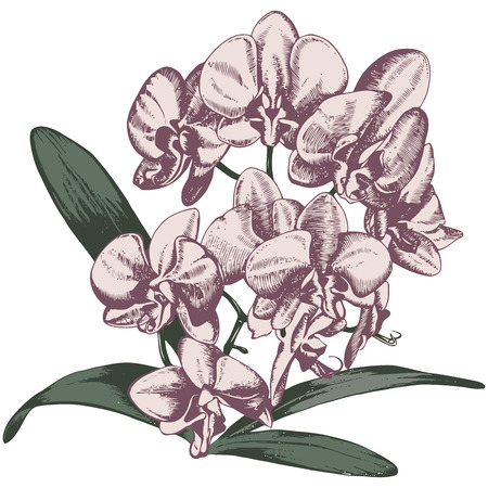 orchid branch: Orchid branch, hand drawn illustration in retro style