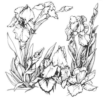 ink illustration: Irises flowers, hand drawn ink  illustration Stock Photo