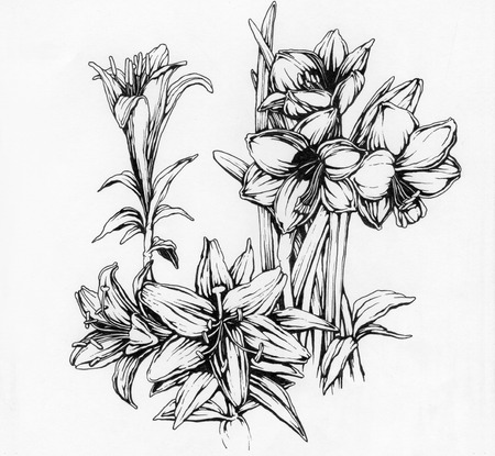 ink illustration: Narcissus and lilies flowers, hand drawn ink  illustration