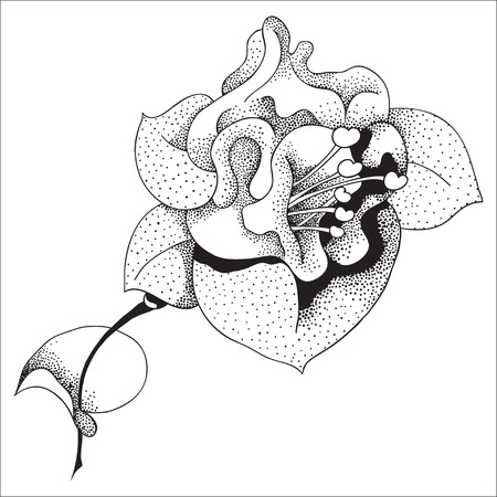 myrtales: Vector graphic illustration of fuchsia flower in color