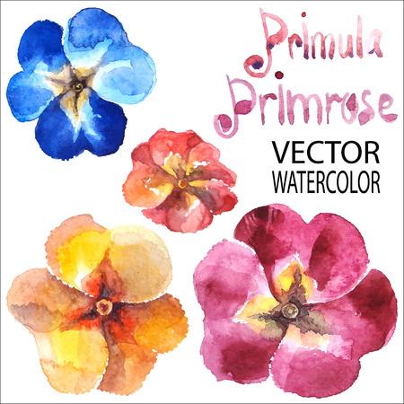 primula: Primula, promrose. Vector watercolor.
