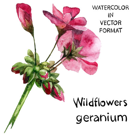 Geranium. Watercolor hand painted illustration.