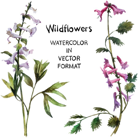 bellflower: Wildflowers. Hand painted watercolor illustration in vector format Illustration