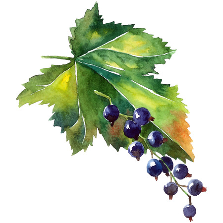 currant: Black currant. Hand painted illustration ob berries and green leaf