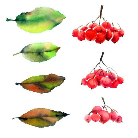 Rowan berry. Set van bladeren en bessen. Stockfoto