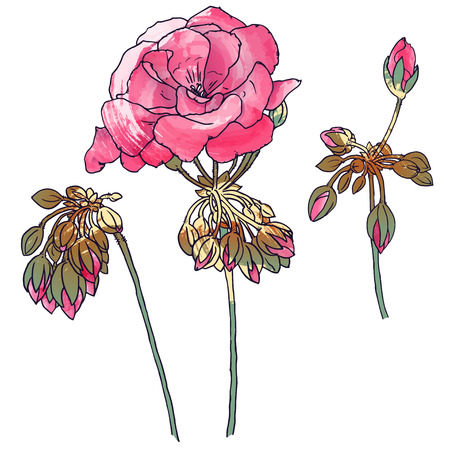 Hand drawn botanical illustration of geranium with flowers, buds, leaves. With painting effects. Vector format.