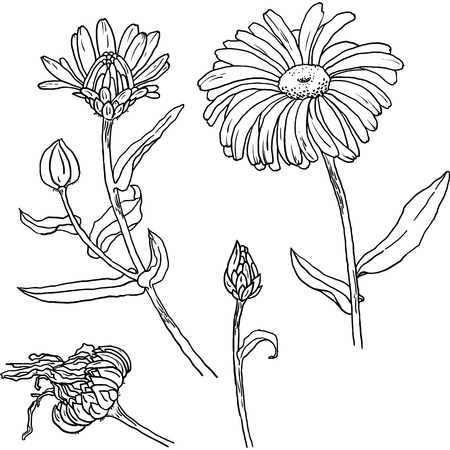 primrose: Hand drawn sketch of primula, primrose with flowers, buds, leaves. Vector format