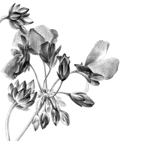 Botanical sketch of geranium flower with buds and petals. Drawing by pen.