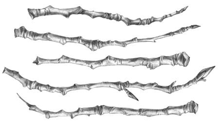 Botanical sketch of poplar branches without leaves. Drawing by ballpoint pen.