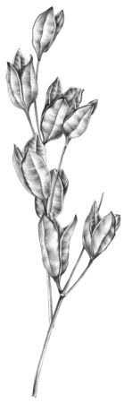 Botanical sketch of wilted flowers herbarium. Drawing by ballpoint pen. Reklamní fotografie