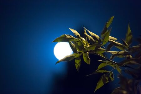 absorb: Green leaves absorb the night the moon on a background of blue sky and tree silhouette.